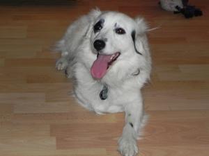 Handicap Hund-Lassy